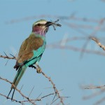 Lila-Breasted Roller