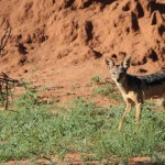 Silver-backed Jackal