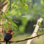 African Pigmy Kingfisher