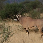 Oryx Beisa