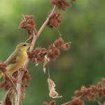female golden palm weaver